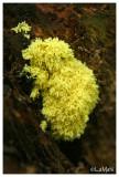 Scrambled-egg slime mold - Heksenboter - Fuligo septica