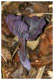 Amathist deceiver - Amethistzwam - Laccaria amethystina