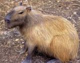 Napo River - Captive Capybara