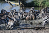 Zebra Panic.jpg