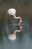 Flamingo's kiss