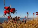 Les baies rouges de Métis