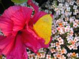 fleurs roses et papillon jaune