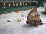 les ailes déformées