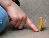 le papillon récalcitrant
