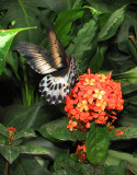 hortensias et ailes ouvertes