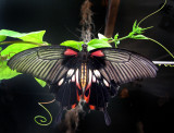 le papillon masqué du plafond