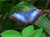 le morpho , ailes ouvertes