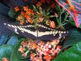 un autre papillon
