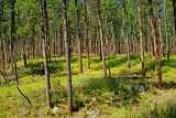 Ponderosa  Pine - Selective Cut