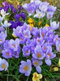 Crocus and other spring bulbs