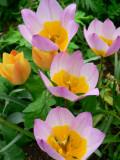 Botanical tulips