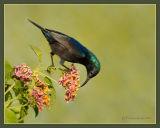Songbirds, Perching Birds .