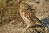 Little Owl .