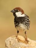 Spanish Sparrow.