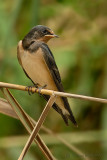 Red-rumped Swallow.