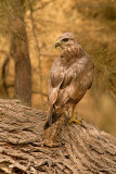 Common Buzzard.