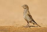 Common Linnet  (female)