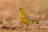 European Greenfinch.