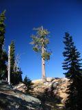 Western White Pine, off trail