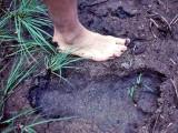 Bigfoot track in the Trinity Alps 1977