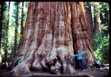 General Sherman Sequoia Tree 1977