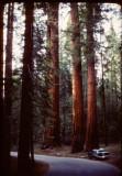 Sequoia drive