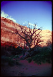 Dead tree in Arches NP