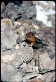 Chipmunk on Mt Shasta Summit 1977
