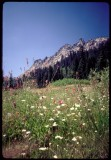 Long Canyon meadow of flowers
