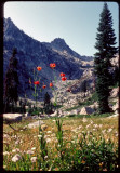 Tiger lilies in Trinity Alps