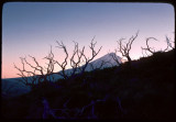 Mount Shasta and manzanita