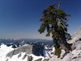 Foxtail pine on Marble Mountain