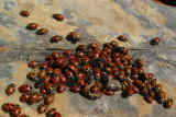 Lady bugs on summit of Marble Mtn