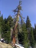 Ancient giant foxtail pine- Magnificent even in death!