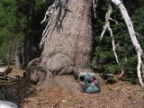 Giant Foxtail pine