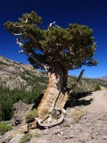 Mountain Juniper near Ebbetts pass