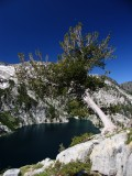 Leaning whitebark pine on route to Bear pass