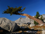 Ancient western white pine
