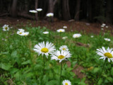 Trailside daisys