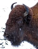 Blustery Bison