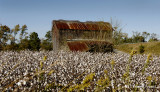 Cotton Field in Eastern North Carolina