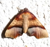 6842, Plagodis phlogosaria