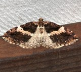 7329, Anticlea vasiliata, Variable Carpet