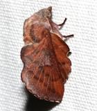 7687, Phyllodesma americana, Lappet Moth