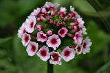 Primula japonica pink
