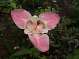 Tigrida Pink Panther