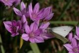 AlliumRoseum.jpg