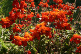 CalceolariaIntegrifolia.jpg