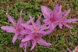 ColchicumAgrippinum.jpg